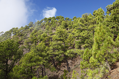 Spain, Canary Islands, La Plama, View of pine forest - SIEF002434