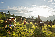 Austria, Salzburg County, Young woman walking in alpine meadow with cows - HHF004014