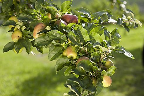 Austria, Styria, View of apple tree - DSF000437