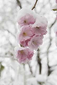 Germany, Munich, Snow covered cherry blossom, close up - ASF004557