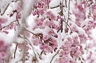 Germany, Munich, Snow covered cherry blossom, close up - ASF004559