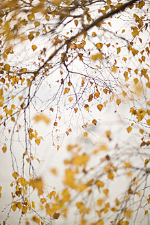 Germany, Birch tree with yellow leaves - FLF000066