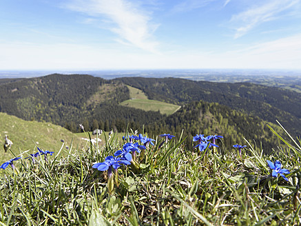 Germany, Bavaria, View of spring gentian, Baumgartenschneid Mountain in background - SIEF002690