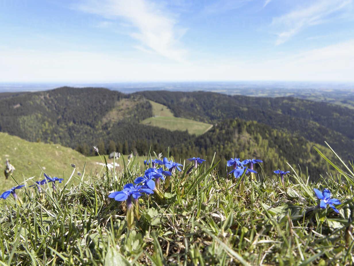Germany, Bavaria, View of spring gentian, Baumgartenschneid Mountain in background - SIEF002690 - Martin Siepmann/Westend61