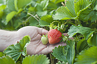 Germany , Saxony, Mature man holding strawberries, closeup - MJF000053