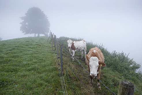 Germany, Bavaria, Cows standing on meadow - FLF000108