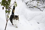 Germany, Cute cat walking through snow - FLF000095