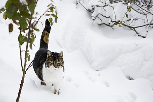 Germany, Cute cat walking through snow - FLF000095