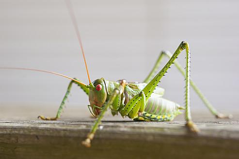 USA, Texas, Close up of grasshopper - ABAF000107