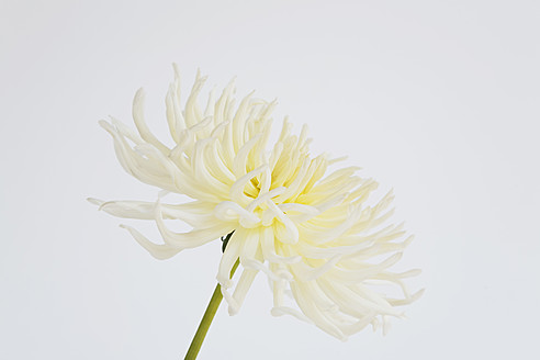 Cactus Dahlia against white background - GWF001937