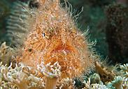 Indonesia, Hairy Frogfish - WBF001234