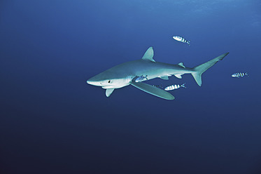 Portugal, Blue shark in Azores - GNF001233