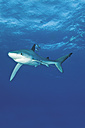 Portugal, Blue shark with pilot fish in Azores - GNF001230