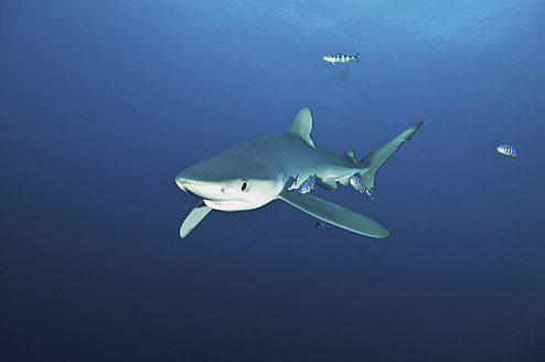 Portugal, Blue shark with pilot fish in Azores - GNF001226