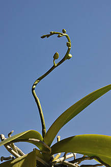 Germany, Bavaria, Close up of orchid buds - AXF000227