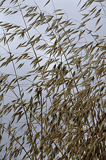 Germany, Bavaria, Oat plants against sky, close up - AXF000275