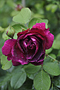Germany, Bavaria, Red rose with dew drops - AXF000284