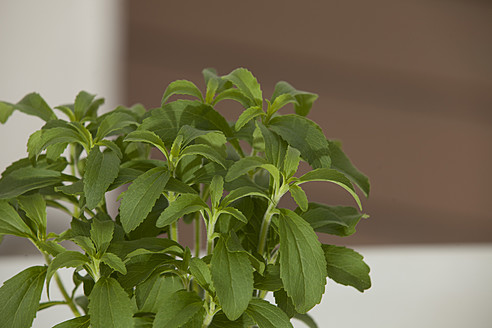Germany, Munich, Close up of stevia rebaudiana - KRF000017