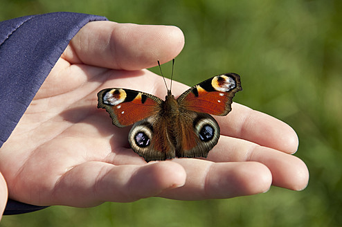 Germany, Bavaria, Human hand holding peacock butterfly - UMF000451