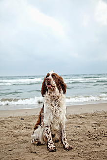France, English Springer Spaniel sitting on sand at beach - MAEF004881