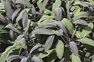 Germany, Close up of garden sage - JTF000004