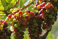 Italy, Red wine in vineyard, close up - JTF000006