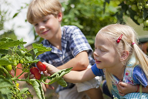 Germany, Bavaria, Boy and girl picking tomatoes in garden - HSIYF000014