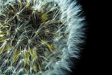 Close up of common dandelion - MAEF005107