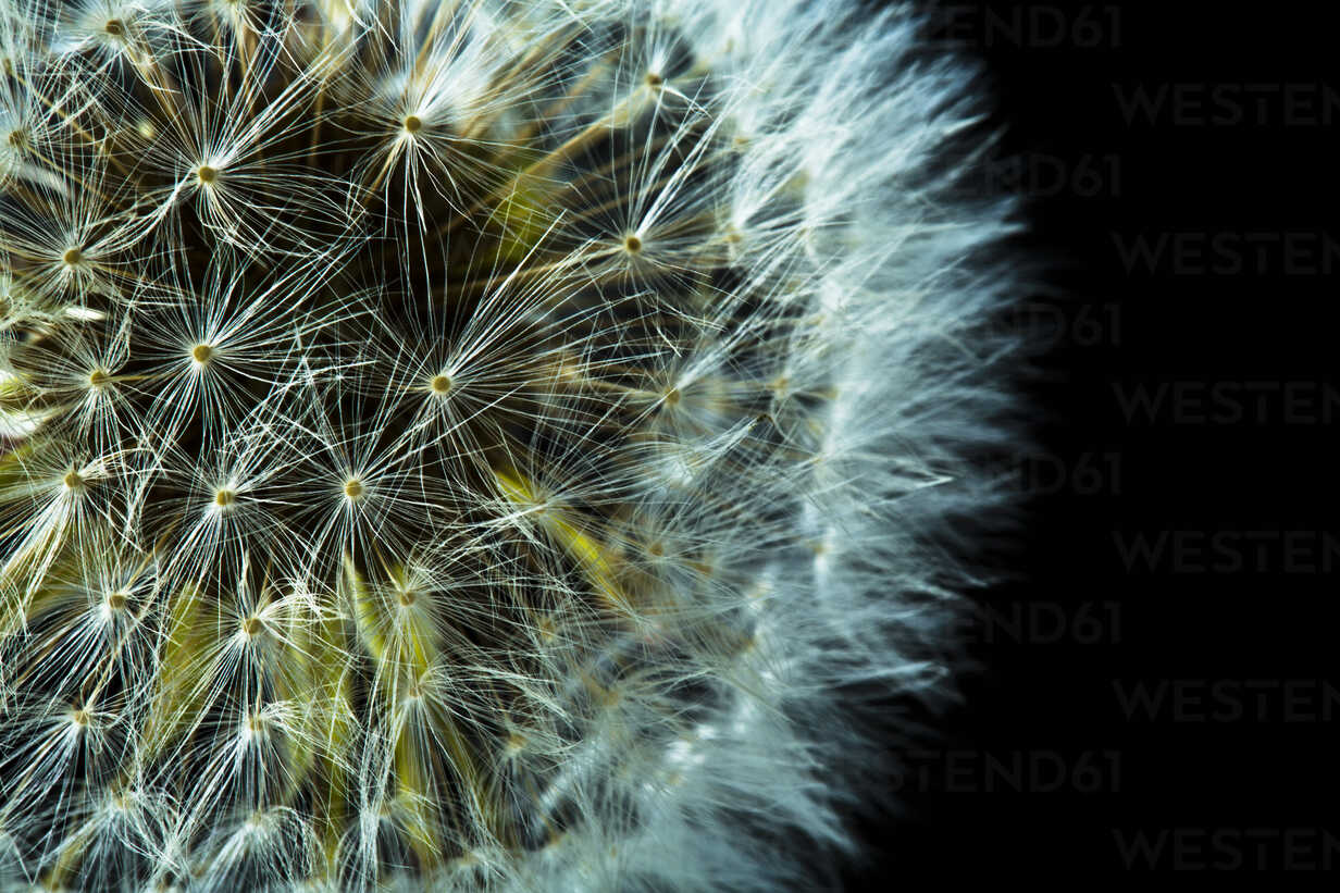Close up of common dandelion - MAEF005107 - Roman Märzinger/Westend61