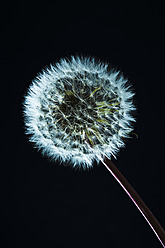 Close up of common dandelion - MAEF005106