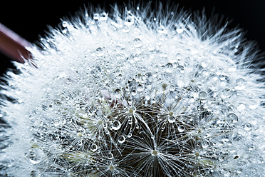Close up of common dandelion - MAEF005100