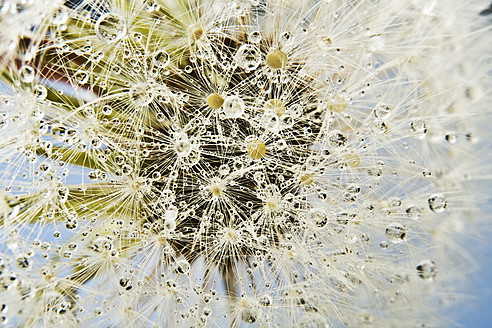 Close up of common dandelion - MAEF005092