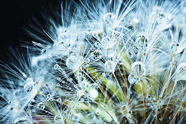 Close up of common dandelion - MAEF005087