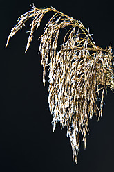 Close up of reed grass against black background - MAEF005198