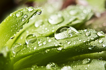 Close up of dewdrops on green succulent plants - MAEF005168