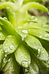 Close up of dewdrops on green succulent plants - MAEF005170