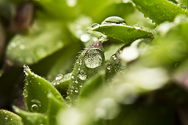 Close up of dewdrops on green succulent plants - MAEF005172