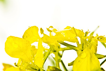 Close up of rapeseed against wihte background - MAEF005187