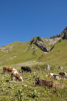 Austria, Cows grazing on meadow in Tannheim Alps - UMF000544