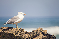 Portugal, Close up of seagull - WVF000287