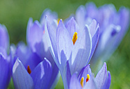 Germany, Close up of crocus flower - JTF000213