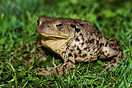 Germany, Hesse, Common toad on grass - MHF000015