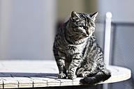 Germany, Heidelberg, Domestic cat sitting on table - MAEF005268