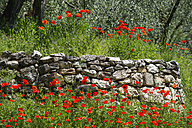 Italy, View of poppy flowers with old stone wall - MIRF000507