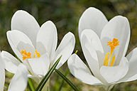 Germany, Close up of white crocus - CRF002216