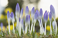 Germany, Close up of purple crocus - CRF002222