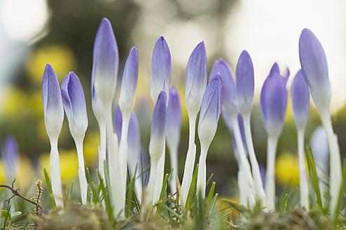 Germany, Close up of purple crocus - CRF002222
