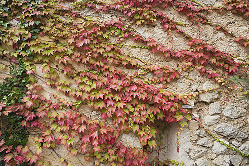 France, Ivy growing on wall - GWF002047