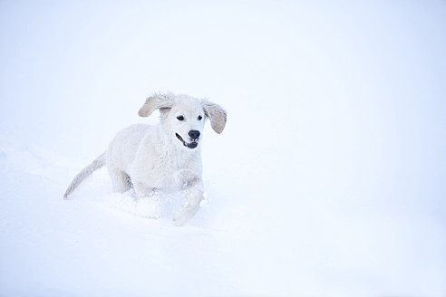 Germany, Bavaria, Golden Retriever puppy playing in snow - MAEF005429