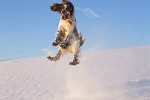 Germany, Bavaria, English Springer Spaniel playing in snow - MAEF005446